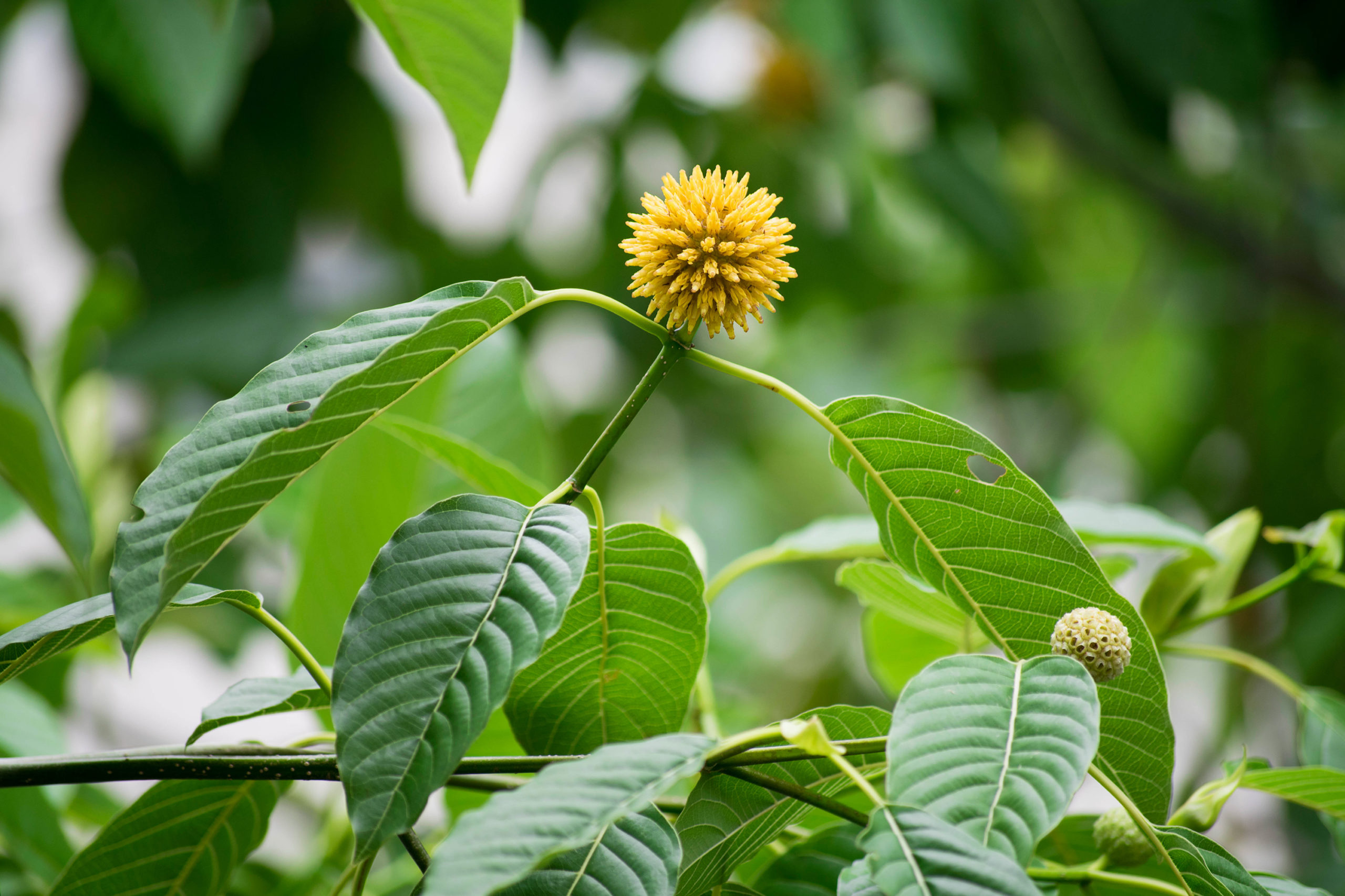 Kratom Vs. Matcha: Know Which One Would You Prefer Consuming